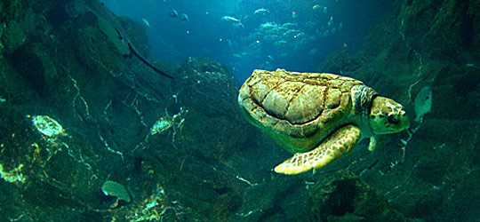 Bob the Turtle from Adventure Aquarium